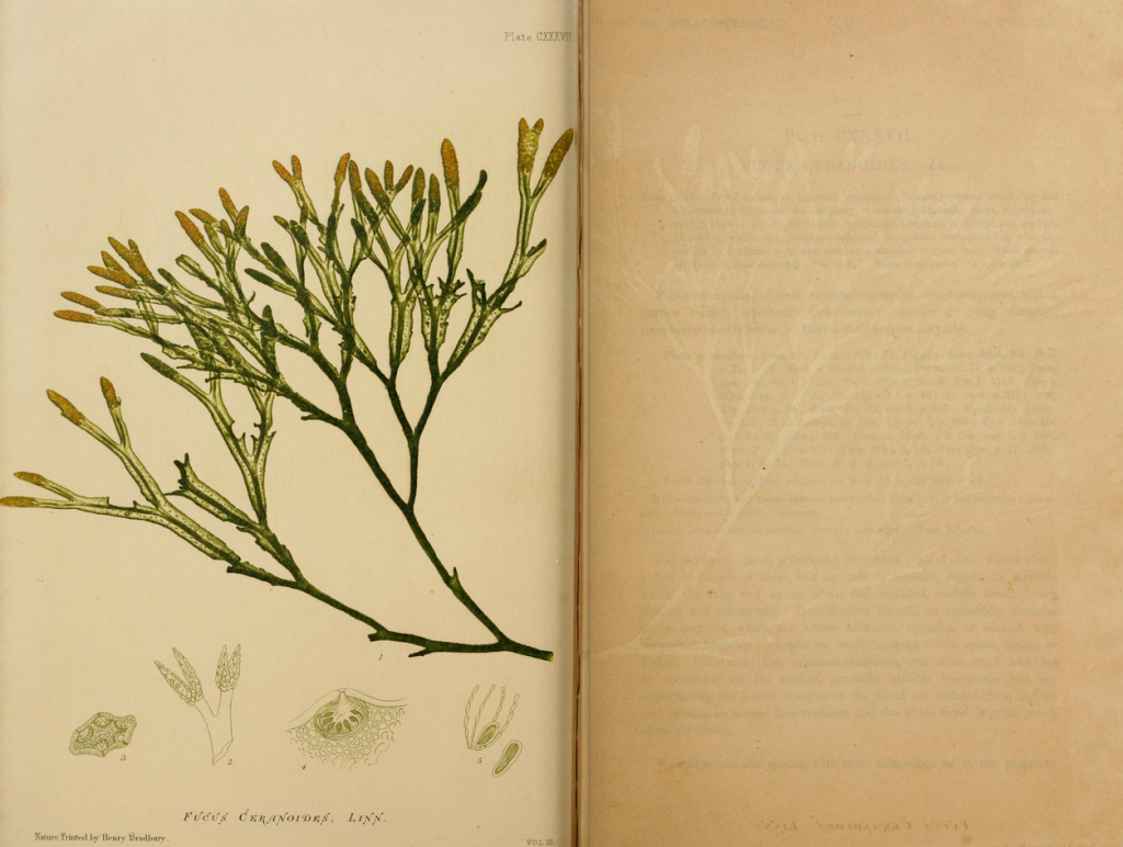 One of Bradbury's nature-prints featured in Johnstone and Croall's seaweed guide. Developed in 1853, the process created an impression of the plant on a lead plate resulting in highly realistic prints.