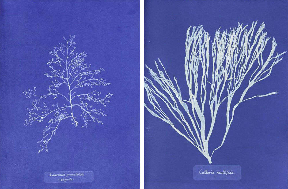 "Top: A collection of seaweed from the Jersey area of England, circa 1850s. Courtesy the Natural History Museum, London. Above: Two cyanotype prints from Anna Atkins' ""Photographs of British Algae,"" released as a series between 1843 and 1850."