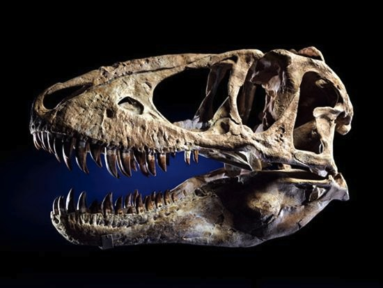 Actor Nicolas Cage paid $276,000 at auction for this Tarbosaurus bataar skull in 2007. Recently it was revealed that the skull was supplied to the auction house by the same commercial paleontologist who has pleaded guilty to smuggling a Tarbosaurus bataar skeleton and other fossils out of Mongolia. Photo via I. M. Chait.