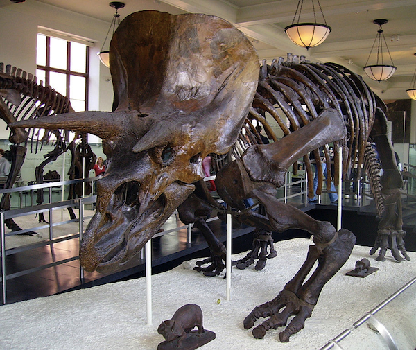 A Triceratops at the American Museum of Natural History. Photo by Michael Gray, via Wikipedia.